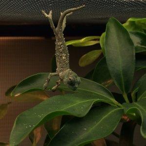 Trioceros Montium Hatchling.
