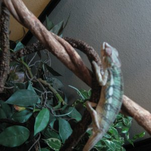 Juvenile Male Blue Bar Panther Chameleon