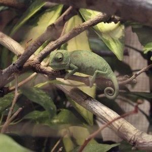 Juvenile Chameleo Chamaleo