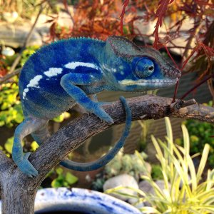 Bonsai's Blue Baby