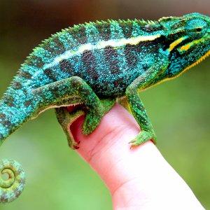 Elliot's Chameleon From Rwanda