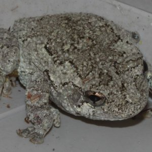 "Are There ""chameleon Toads/frogs"" ?"