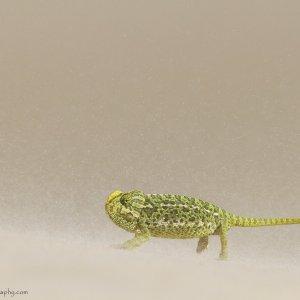 Mediterranian Chameleon