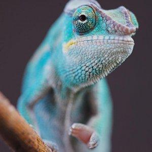 Juvenile Nosy Be Panther Chameleon