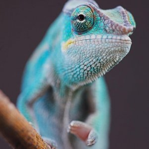 Juvenile Nosy Be Panther Chameleon