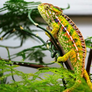 Receptive Female Furcifer Lateralis