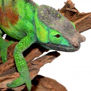 Canvas Chameleons Cristifer