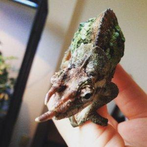 Syd the Werner's Chameleon