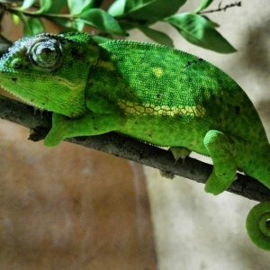 Stevie the Flap Necked Chameleon