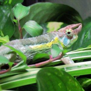 Scimitar of the Jungle