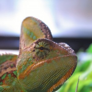 Brodey the Chameleon