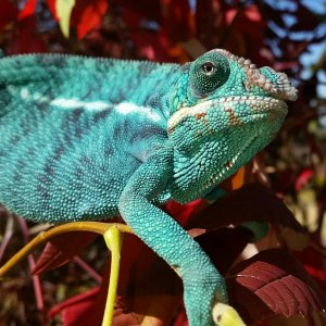 Blue lightning, our first chameleon baby!!