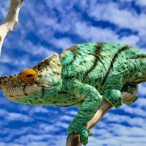 Chameleon 11