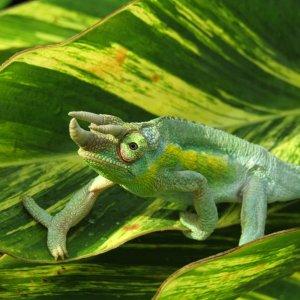 Chameleon 10