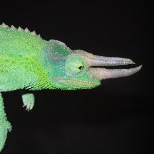 Chameleon 9