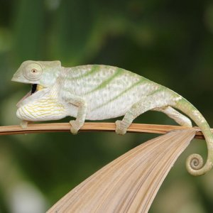 Chameleon 8