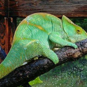 Chameleon 5
