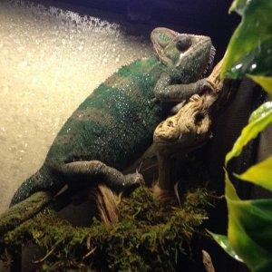 Kiwi the Chameleon