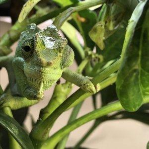 Curious Gracilior