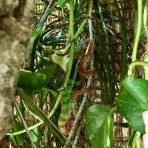Stock chameleon image