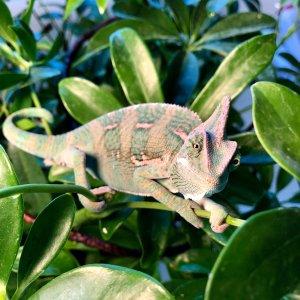 Charlie the Chameleon