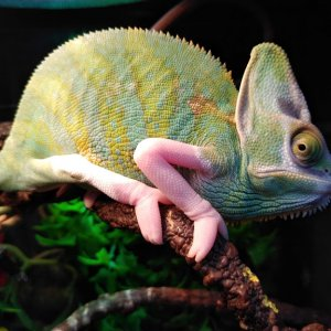 Piebald Male Veiled Chameleon