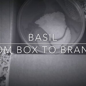 Basil From Box to Branch