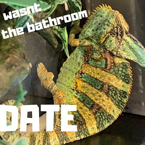 Veiled Chameleon Update| WHATS HAPPENING WITH CARLO?