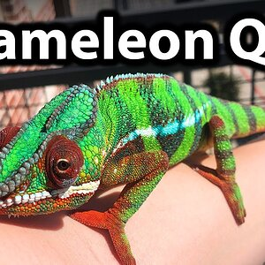Commonly asked chameleon questions | Q&A