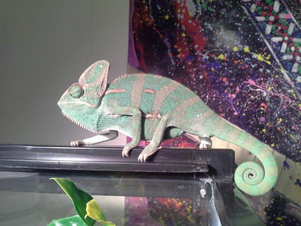 My Chameleon And How He Reacts To Me Advice Welcome Please