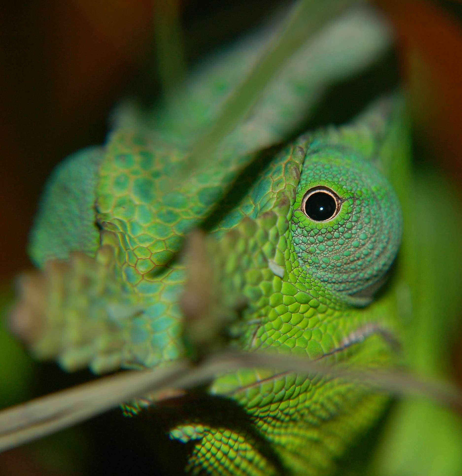 A Handsome Giant Fischer's Chameleon Peeking Through The Leaves