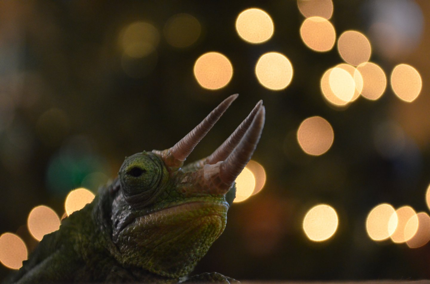 chameleon in front of chistmas tree