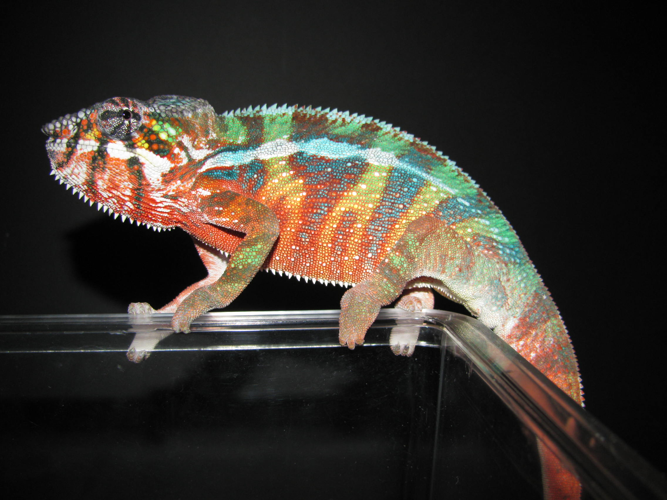 New Breeder Male Posing