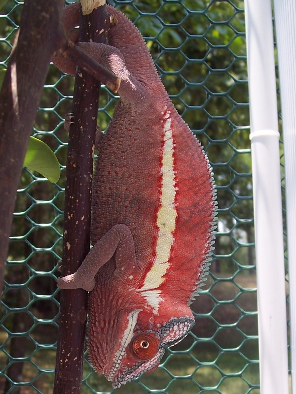 Panther chameleon or sockeye salmon?