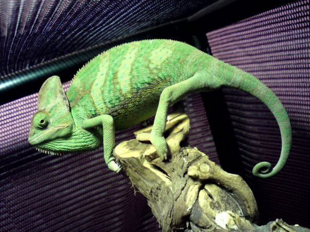 Victor Meldrew - Our Chameleon
