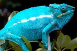 healthy chameleon
