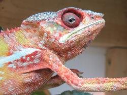 Unhealthy Chameleon