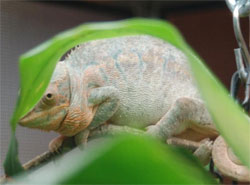 chameleon with edema