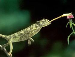 What do Jackson's chameleons eat?