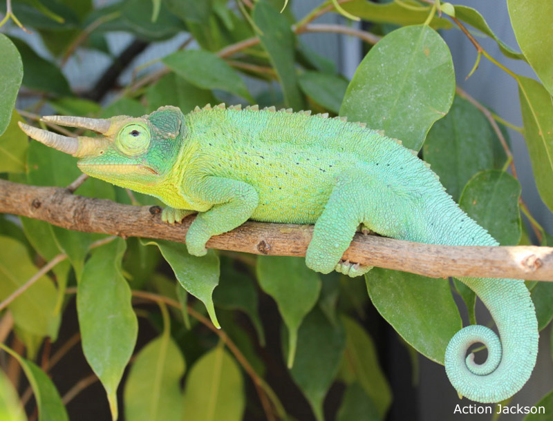 Male jackson chameleon - photo#4
