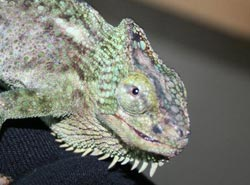 chameleon with mouth rot
