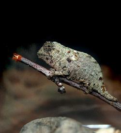 Pygmy Chameleon Chameleon Forums