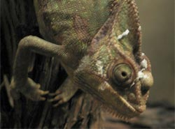 chameleon with sinus infection