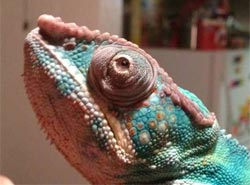 Chameleon with swollen eyes