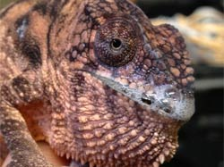 Chameleon upper respiratory infection