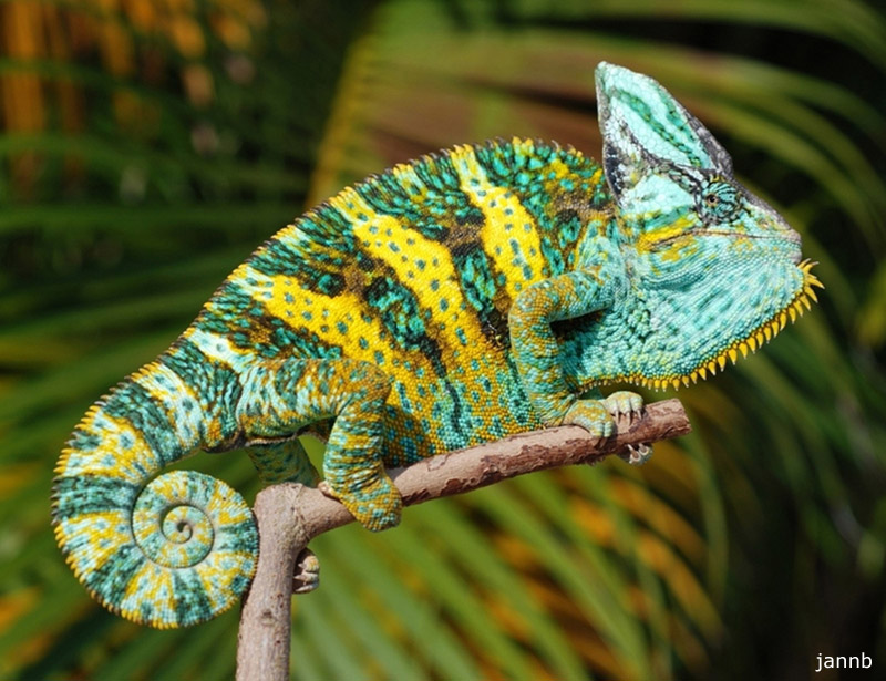 Veiled chameleon colors