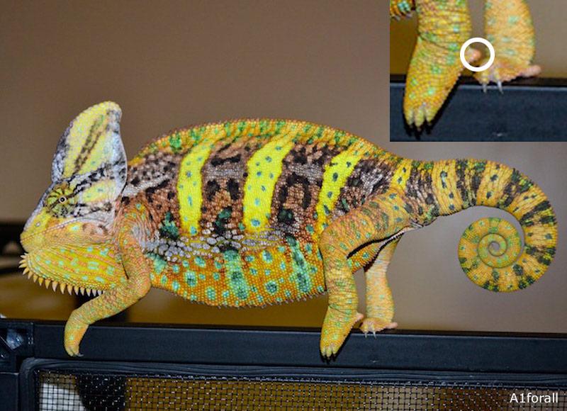 veiled chameleon chameleon forums