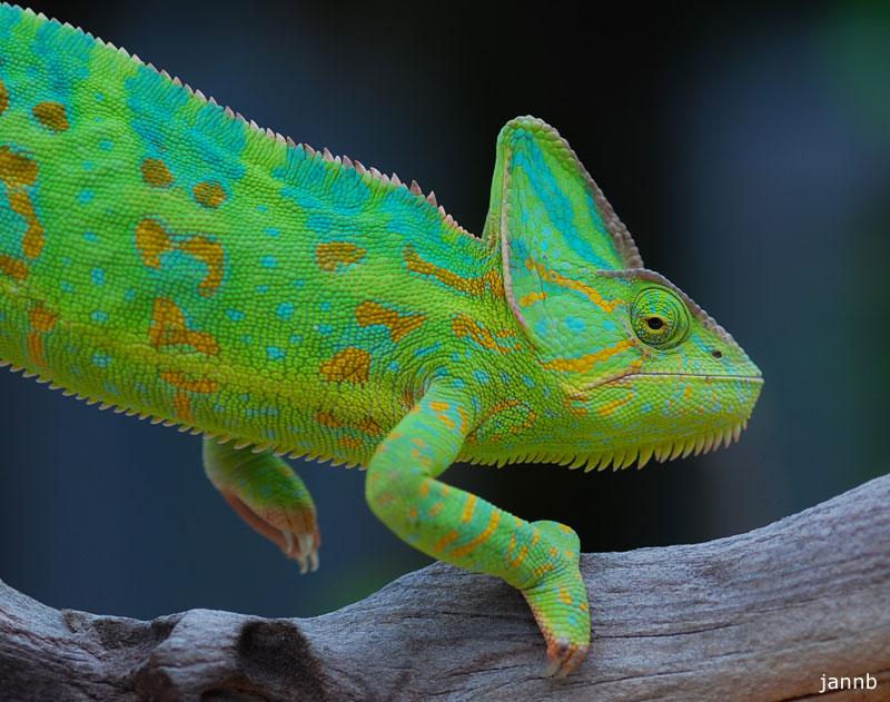 Veiled Chameleon | Chameleon Forums