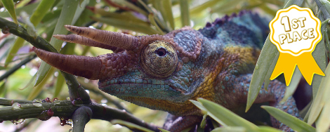 chameleons and metabolic bone disases